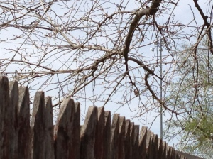 I tried to photograph the black-capped chickadee that nested in our yard this spring; you can see the fence much better than the bird in this shot.